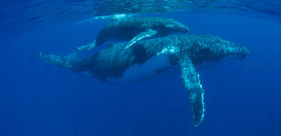 https://tahititourisme.ca/wp-content/uploads/2018/03/mooreaactivitiescenterwhaleswatching_1140x550-min.png