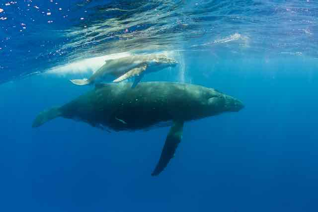 https://tahititourisme.ca/wp-content/uploads/2019/04/Bora-Bora-Humpback-Whales.jpeg