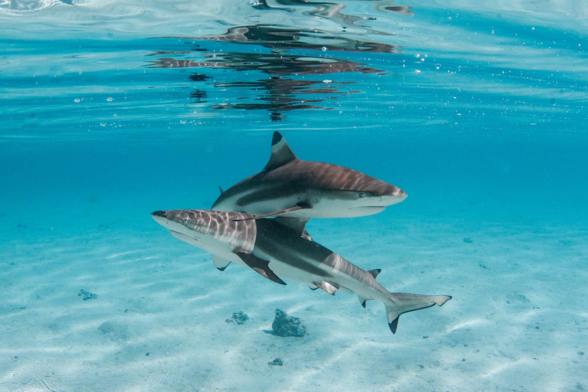 https://tahititourisme.ca/wp-content/uploads/2020/06/deux-magnifiques-requins.jpg